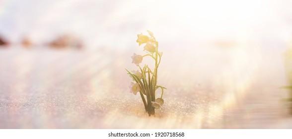 Der erste Frühling blüht. Aus Schnee wachsen Schneeknalle im Wald. Weiße Lilie der Talblume unter den ersten Sonnenstrahlen der Frühlingssonne.