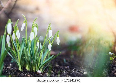 first spring flowers, snowdrops in garden, sunlight
