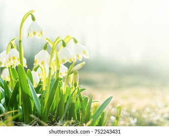 The first spring flowers, snowdrops, a symbol of nature awakening in the sunlight. Light toning, brightening.