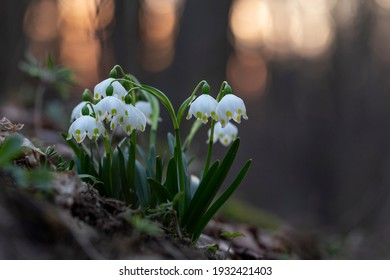 The first spring flowers spring snowflake (Leucojum vernum) in the evening light. Leucojum vernum, called spring snowflake is a perennial bulbous flowering plant species in the family Amaryllidaceae.