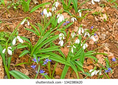 First spring flowers - white snowdrops in the forest