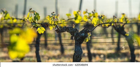 First spring leaves on a trellised vine growing in vineyard, Bordeaux, France
