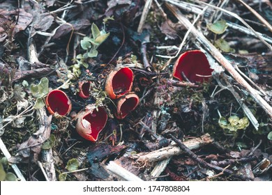 The first spring mushroom in the forest. Sarcosciffus scarlet, commonly known as the scarlet elf cup, scarlet elf cap, or the scarlet cup. Selective focus