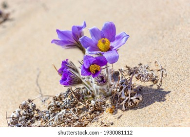 the first spring Pulsatilla-pasqueflower blooms in the sands of the Charskaya desert in Transbaikalia