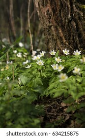 First spring white flowers primrose anemones in the forest