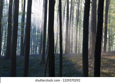 first sun light in a spring beech forest  covered with bluebells. Dark tree trunks in the enchanted woods.