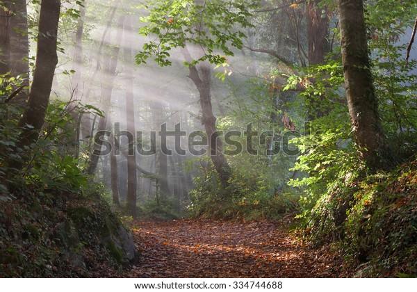 First sunbeams in the forest of La Fageda de Jorda in Garrotxa, Girona, Catalonia.