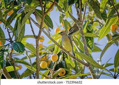 The first visit of a flock of Cedar Waxwings to this Loquat tree in Old Town Bluffton, SC. Within a couple of days the tree had been stripped  of  virtually all it's fruit by these winged mauraders.