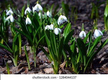 The first white tender spring flowers of snowdrops and green leaves sprouted skos ground and layer of autumn leaves. Spring.
