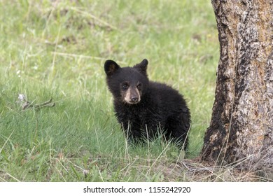 First Year Bear Cub