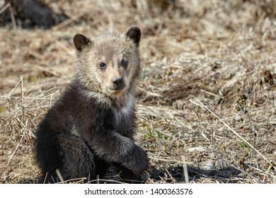 First year Grizzly cub posing
