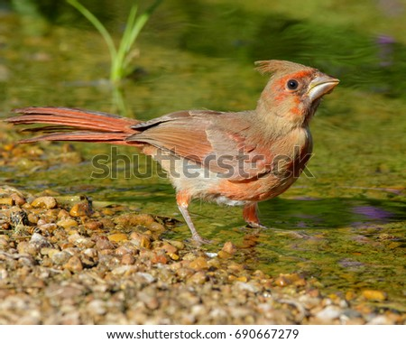 First year/juvenile Northern Cardinal drinking from a pond in South Texas