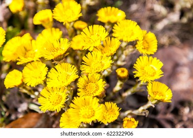 First yellow early spring mother and stepmother flower on empty ground. Tussilago farfara medical plant.  Coltsfoot blossoms.