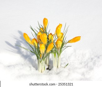 first yellow flowers in snow