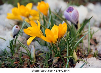 First yellow spring flowers in snow - Crocuses. Blossom, as soon as snow descends