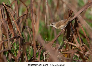 First-winter Paddyfield Warbler (Acrocephalus agricola) perched in a reed bed during autumn migration in the Shetland Islands, Scotland.
