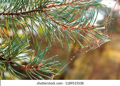 fir-tree branch in a cobweb, a cobweb on trees in September