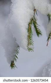 fir-tree branch in snow, new year