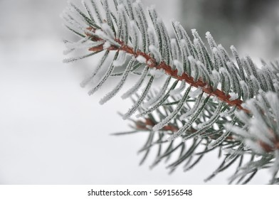 the fir-tree branches covered with hoarfrost.
