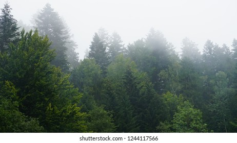 The fir-tree forest in the fog for dramatic background.