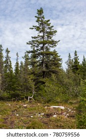 fir-tree on the fringe of the forest