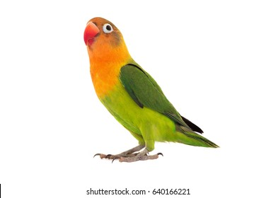 fischeri lovebird parrot on a white background