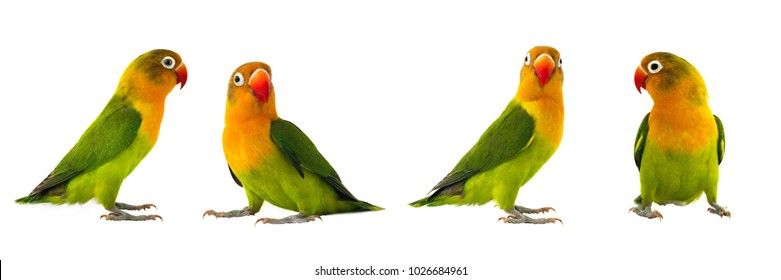 fischeri lovebirds parrot on a white background