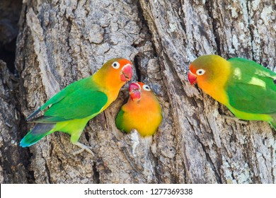 A Fischer's Lovebird (Agapornis fischeri) feeds its mate in a cavity nest, while another lovebird looks on. Ngorongoro Conservation Area, Tanzania