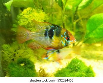 Fish in aqarium, cichlid ramirezi male