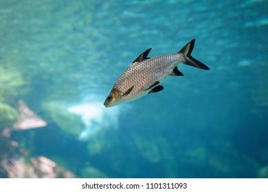 Fish in an aquarium. Animal for education concept.