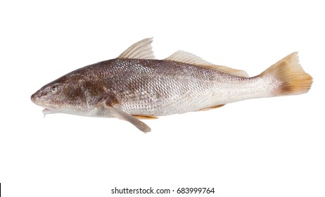 Fish  Atlantic Croaker - Micropogonias undulatus  on the hook. Isolated on white background