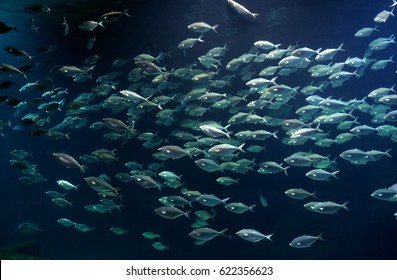 Fish bank swimming in the blue sea water