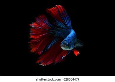 Fish, Betta fish, fighting fish, siamese, Fish movement in water.