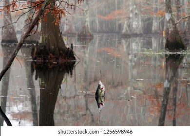 Fish  Black crappie ( Pomoxis nigromaculatus) caught on the Yo-Yo Automatic Fishing Reels. Beautiful bald cypress trees in autumn rusty-colored foliage. Chicot State Park, Louisiana, US
