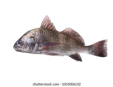 Fish  black drum (Pogonias cromis). Isolated on white background