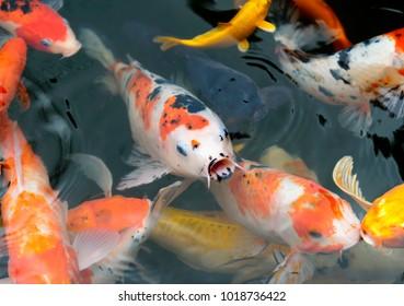 fish CARP fancy / koi in pond, japanese National animal