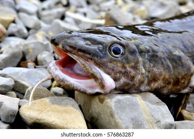 Fish catfish. There is in Ukrainian rivers many species of fish.This fish - Catfish. The biggest fish in the river. Catfish are very nutritious and tasty.