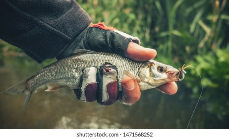 The fish are caught by fly fishing.