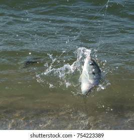 Fish caught on a fishing pole. The pinfish, Lagodon rhomboides, is a saltwater fish of the Sparidae family, the breams and porgies
