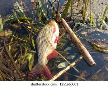 Fish caught on the fly. Tenkara.