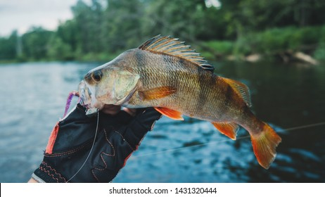 Fish caught on a jig. Perch.