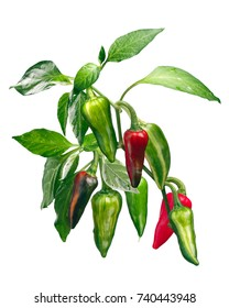 Fish chile pepper (Capsicum annuum), plant with pods. Clipping path