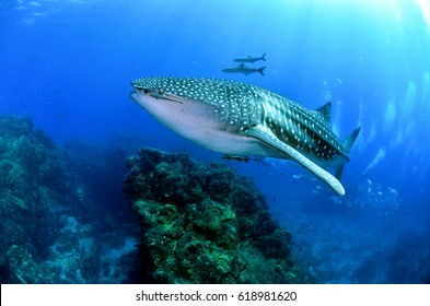 fish coral  scuba diving reef underwater rock ray shark whale blue ocean