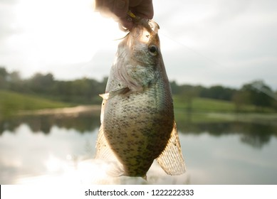 fish crappie hanging with pond background