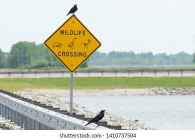 Fish Crows at Riverlands Audubon Society
