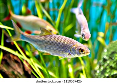 Fish of Cyprinidae family named is common rudd or Scardinius erythrophthalmus.