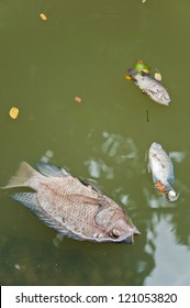 A fish dies in the  dirty water with her baby for long time