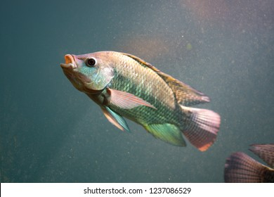 Fish diving under water, Nile tilapia fish  is species of tilapia.  Commercially important as a food fish and is also farmed. It swimming in under pond. It is also commercially known as mango fish