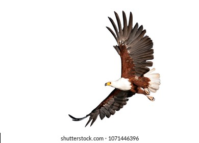 fish eagle beautifully flying on isolated white background
