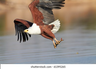 Fish eagle catches a fish in the Chobe river in Botswana in Southern Africa